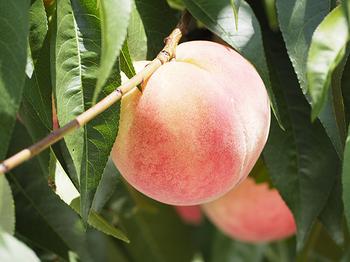 桃畑1.jpg