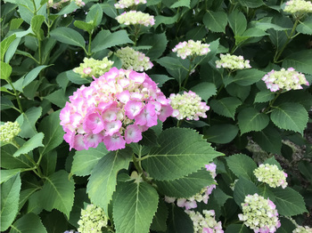 紫陽花咲き始め.JPG